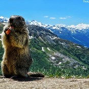 Meet the Marmots - Five Fun Facts